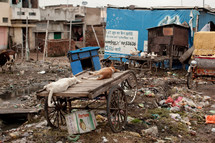 dogs and chickens in the slums of India