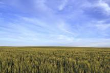 tall green grass under a blue clear sky
