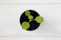 sprout in a pot