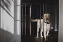 a dog behind a baby gate