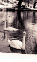 white swans in a pond
