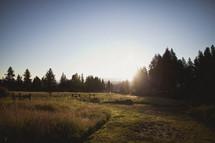 The sun shining through pine trees on a ranch