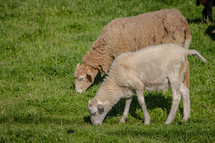 Sheep in a pasture eating grass.