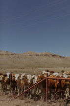 cattle in a prairie
