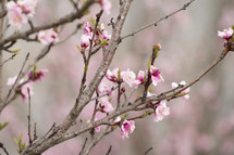 pink spring flowers on a branch
