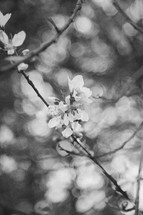 spring blossoms in black and white