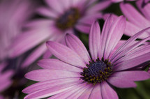 Close-up of purple daisy flowers.
