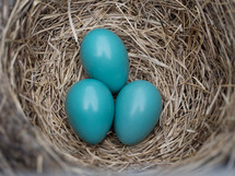 teal robins eggs in a nest