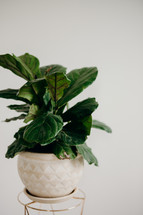 Potted Fiddle Leaf Fig Plant