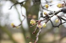 budding spring branch