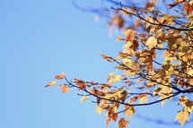 fall leaves on a tree against a blue sky