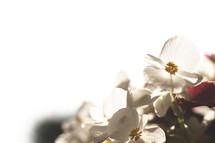 white dogwood petals