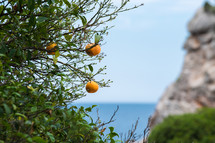 oranges on a tree ocean in the background