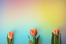 3 tulips on a rainbow colored background