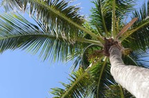 looking up to the top of a palm tree