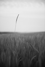 Dry wheat field in black and white