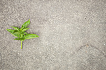 basil on concrete