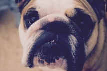 The face of a loyal pet bulldog
