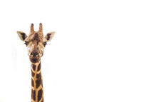 giraffe neck and head
