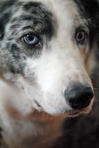 Portrait closeup of a dog.