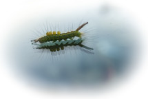 The humble caterpillar reflected on a glass surface