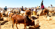 cattle and people in Ethiopia