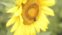 Bee on a yellow sunflower