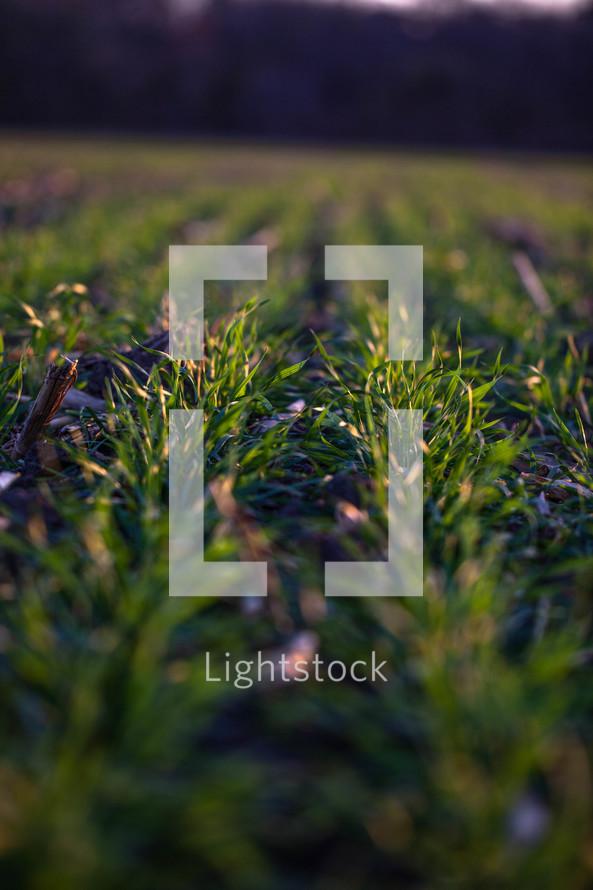 rows in a farmers field