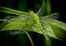 Dragonfly on a blade of grass.