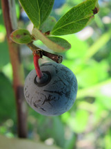 A single blueberry growing on a blueberry bush.