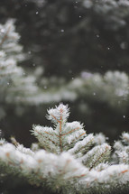 a gentle snowfall on evergreen tree