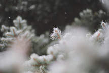 snow falling on evergreen branches in shallow focus