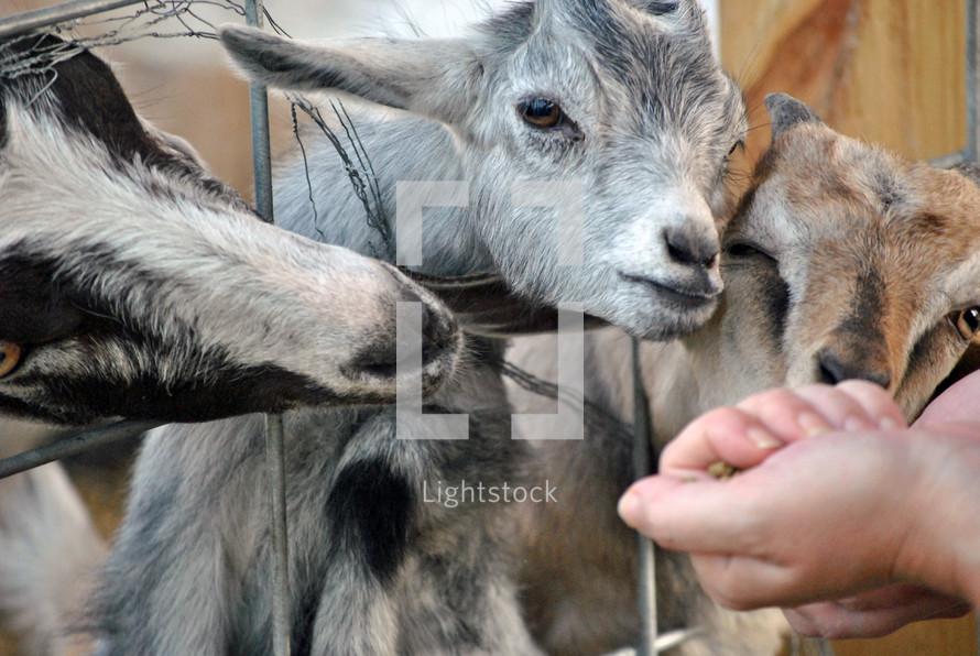 Feeding the goats a treat.