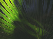 large palm leaves with distinct shadow - iPhone capture