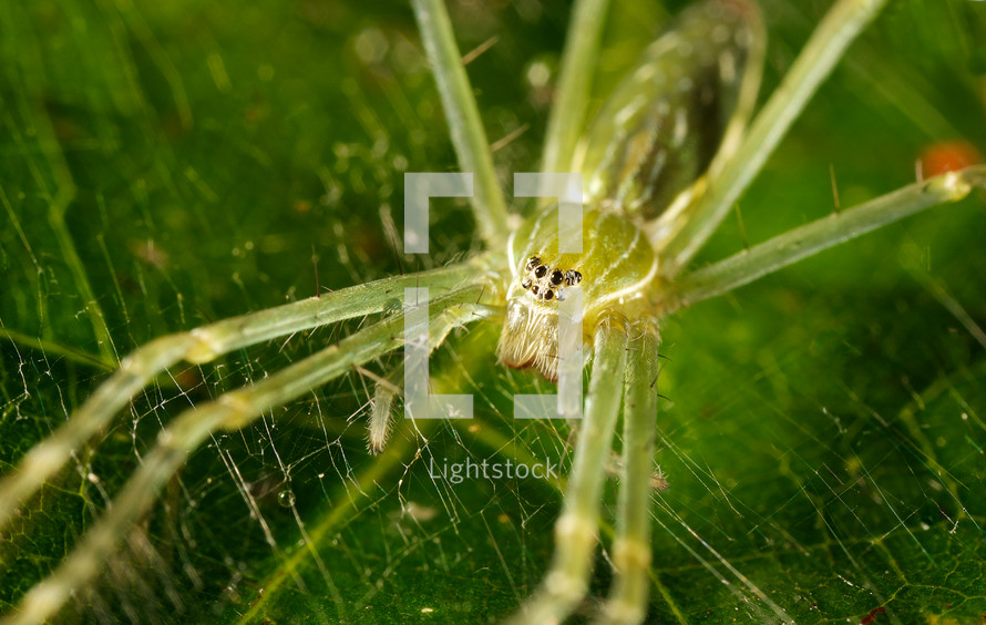 close-up of a green spider