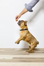 a man giving a French Bulldog a treat