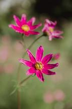fuchsia wildflowers
