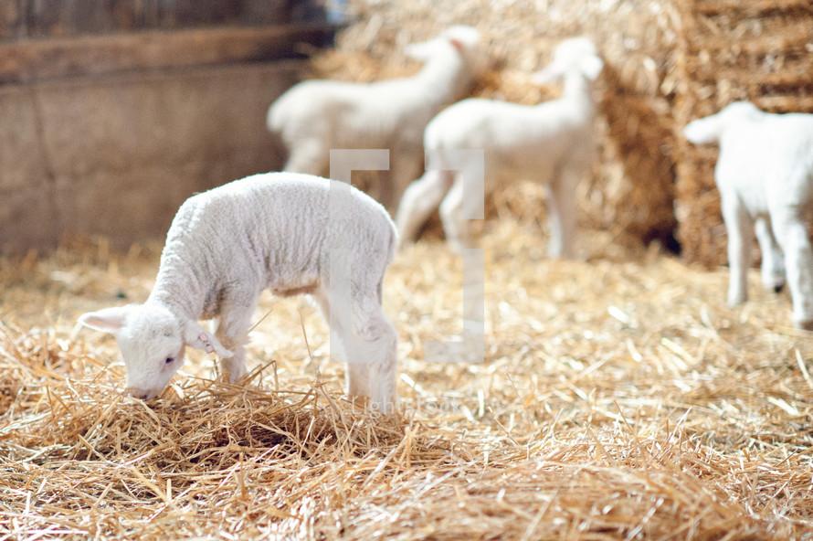 Baby sheep eating hay in hay barn