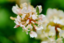 White sweet clover blossoms.