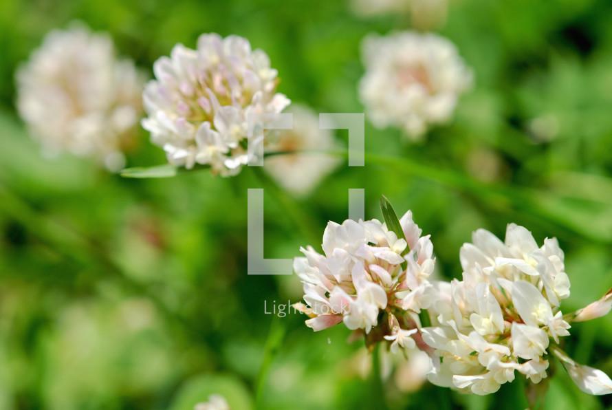 White sweet clover blossoms.