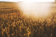 sunburst over a field of wheat