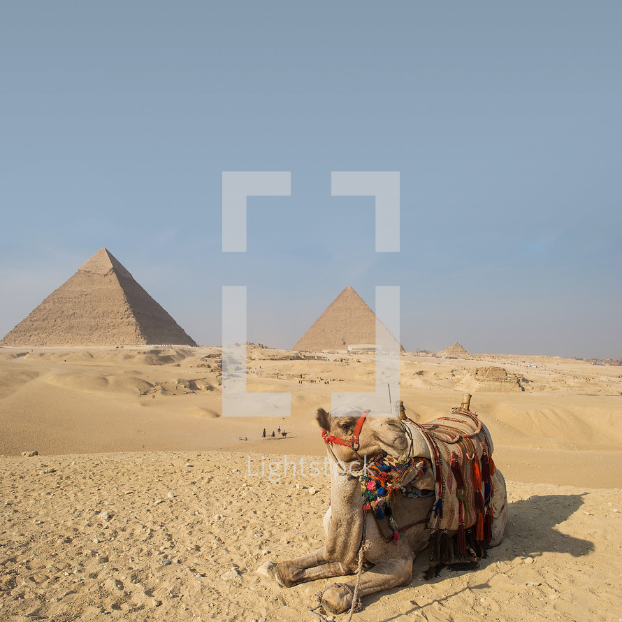 a camel resting in sand in front of pyramids