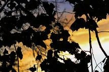 silhouettes of leaves on a tree  against a yellow sky