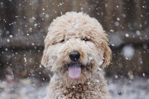 snow falling on a golden doodle dog