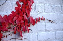 red leaves on ivy
