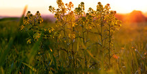 plants in a field at sunset