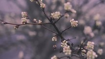 tiny white budding spring flowers