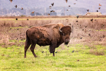 flock of birds around a bison