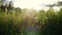 breeze on tall grasses in a field