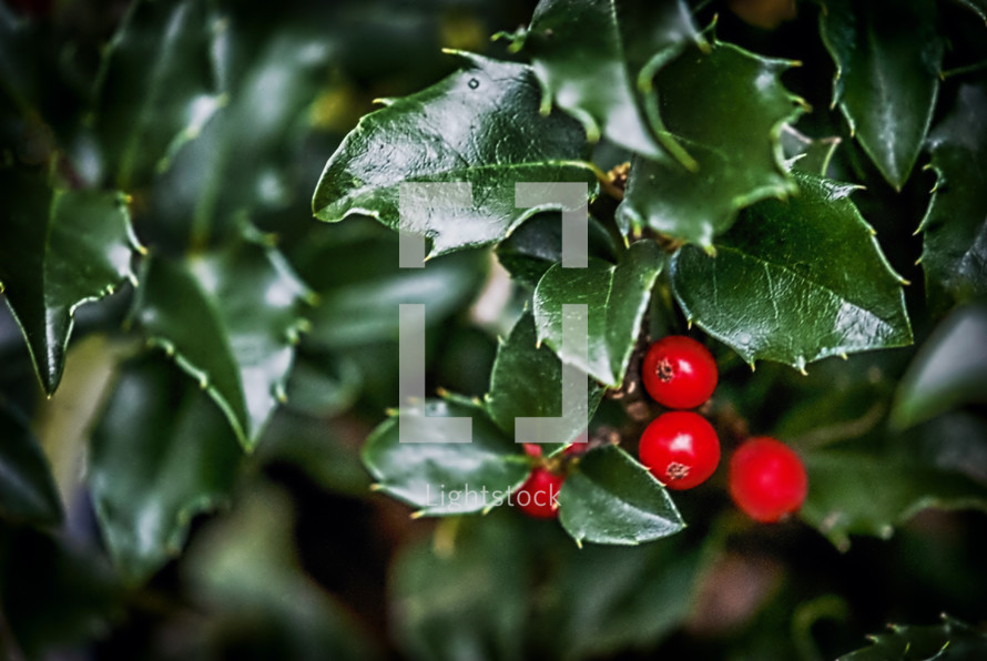 Holly branch with bright red berries.